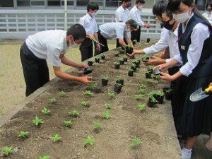 ひまわり苗植えの写真